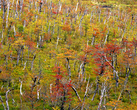 Autumn Forest, Central Patagonia, Chile