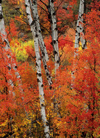 Maples and Birches, Wyoming