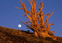 Moonrise and Bristlecone