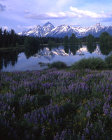 Lupines and Grand Tetons Reflection, Wyoming