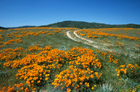 Poppies and Dirt Road