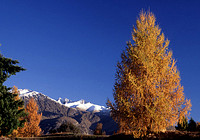 Larch Tree in Arrowtown